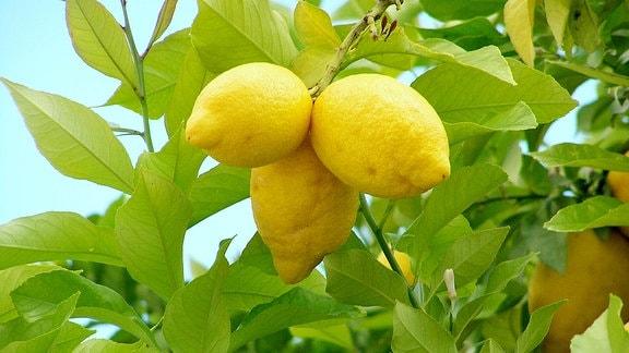 Zitronenbaum mit 3 Zitronen.