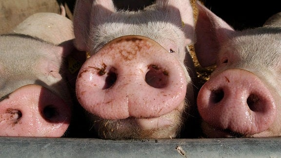 Schweineschnauzen