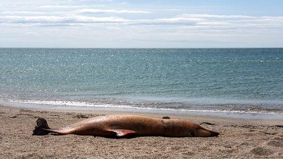 Ein toter Delfin liegt an einem Strand.