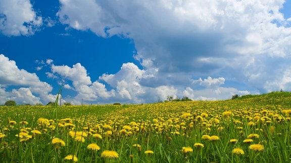 Blumenwiese mit Löwenzahn