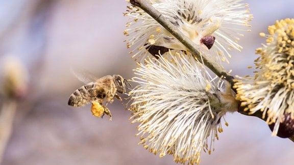 Eine Biene, deren Beinkörbchen mit Pollen gefüllt sind, fliegt eine Baumblüte an.
