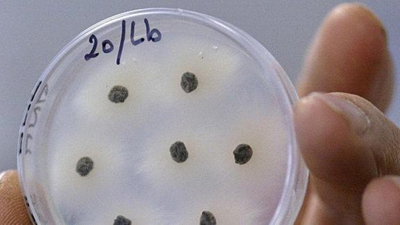 Eine Hand hält eine Petrischale mit angezüchteten Bakterienkulturen