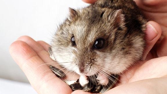 Ein Hamster hockt auf einer Hand