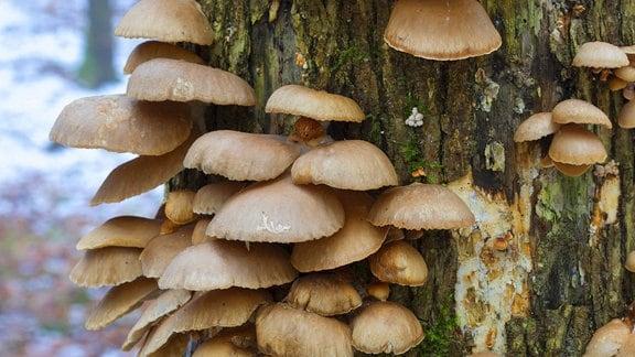 Austernseitling an einem Baumstamm