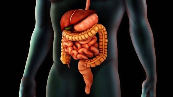 Computergrafik: Magen-Darm-Trakt eines Mannes