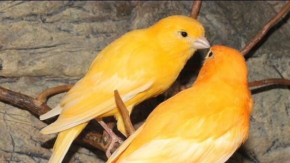 Zwei gelbe Kanarienvögel auf einem Ast