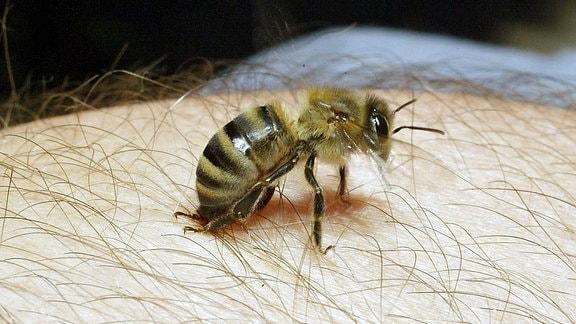 Biene setzt zum Stich an