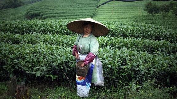 Chinesische Teepflückerin bei der Ernte
