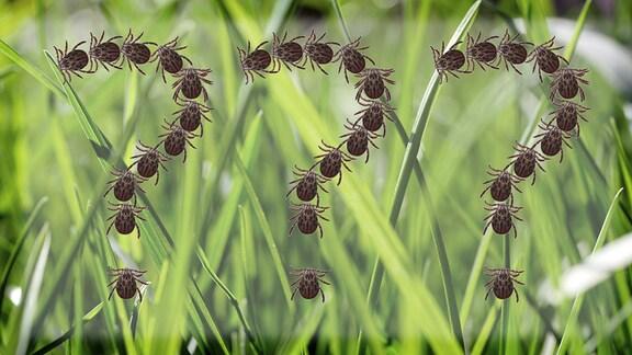 Bildmontage: Zecken formen ein Fragezeichen vor einem Hintergrund aus Grashalmen