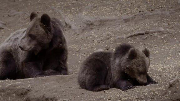 zwei Braunbären liegen auf dem Boden