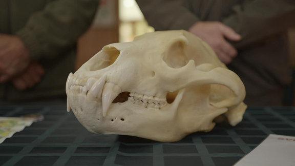 Braunbärenschädelknochen