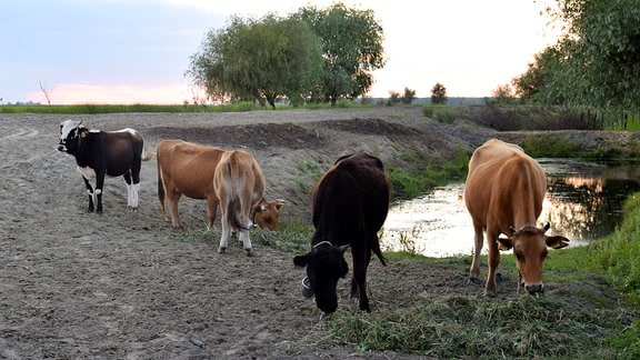 Rinderherde an Wasserloch