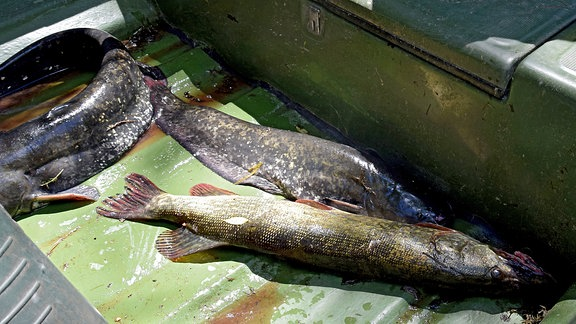 drei gefangene Fische
