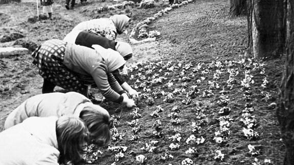 Subbotnik - 25.000 Frühjahrsblumen wurden rund um das Panzerdenkmal gepflanzt