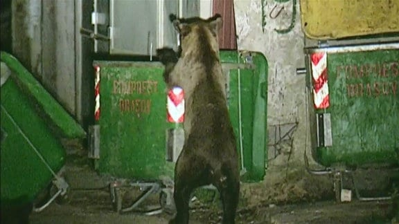 Rumänien, ein Bär rüttelt an einer Mülltonne.