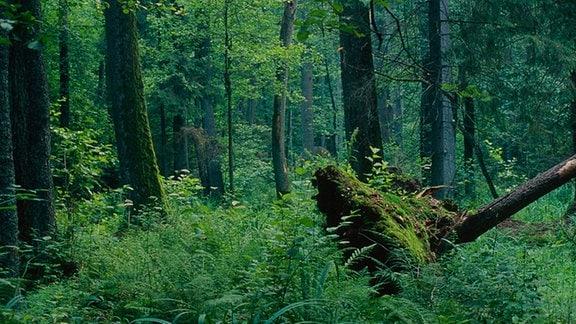 Bialowieza Naturschutzgebiet
