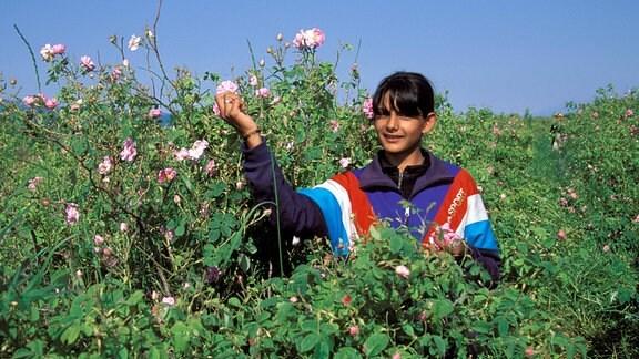 Ein junges Mädchen während der Rosenernte im Rosental von Kazanlak