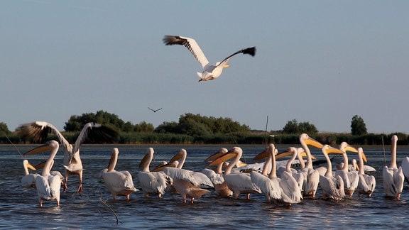 Pelikane im Wasser