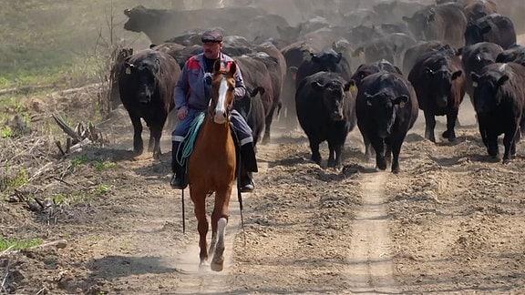 Ein Mann auf einem Pferd reitet vor einer Herde schwarzer Rinder.