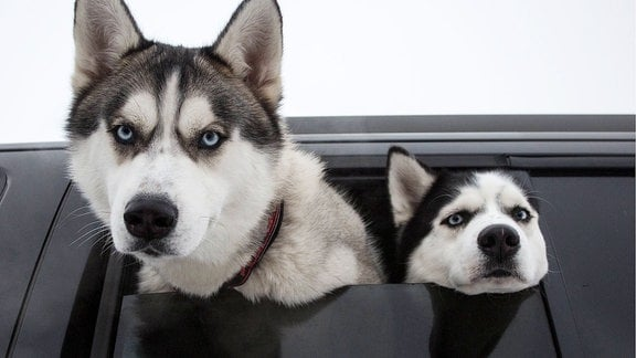 Zwei Huskys schauen aus einem Auto.