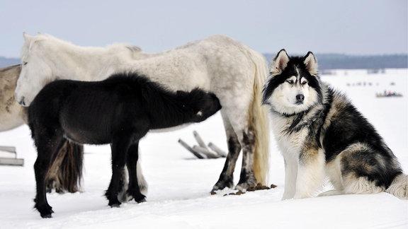 Husky sitzt in der Nähe von zwei Pferden