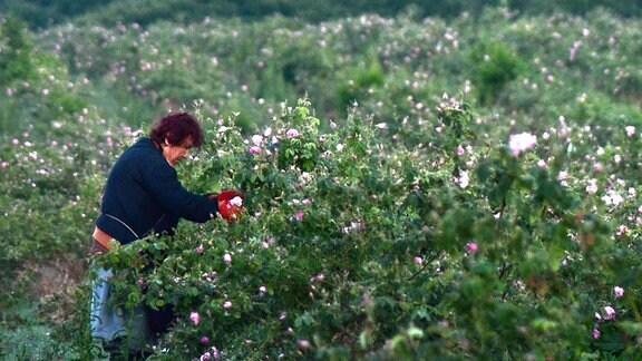 Kazanlak - Eine Frau erntet am frühen Morgen Rosenblüten.