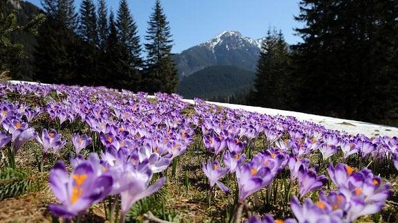 Krokusse auf einer Bergwiese am Fuße des Tatra-Gebirges (südliches Polen)