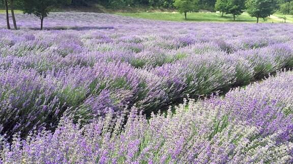 Ein blühendes Lavendelfeld.
