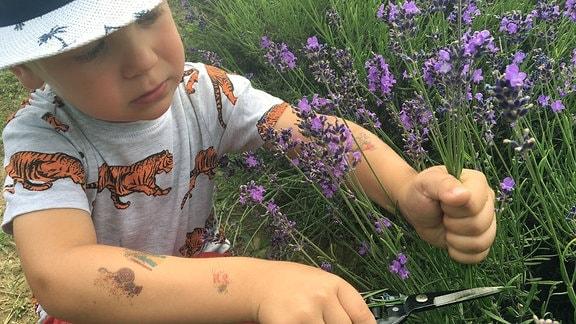 Ein kleiner Junge pflückt Lavendel.