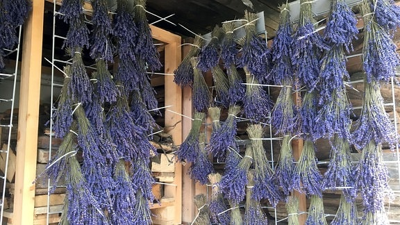 Lavendelsträucher hängen Kopfüber an einer Hauswand.