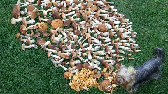 kleiner Hund neben vielen ausgebreiteten Waldpilzen