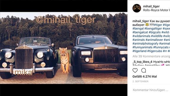 Tiger zwischen zwei RollsRoyce Limousinen