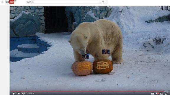 Ein Eisbär spielt zwei Kürbissen