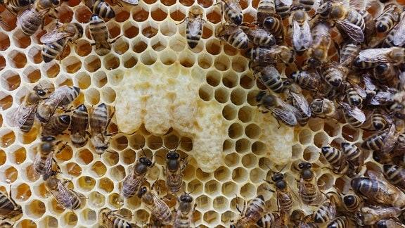 Honigbienen auf einer Wabe mit Nachschaffungszellen