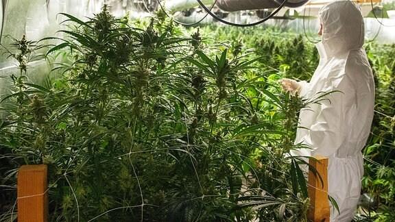 Eine Polizistin der Spurensicherung in einer Cannabis-Plantage.