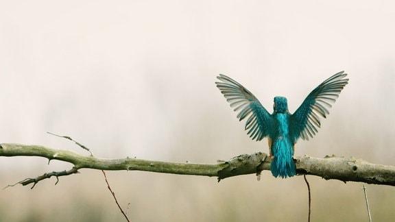 Ein kleiner Eisvogel sitzt auf einem Ast und will gerade losfliegen