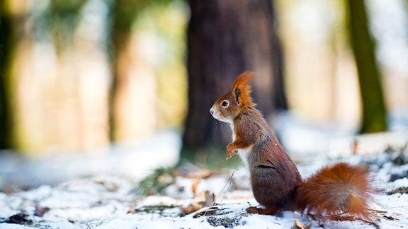 Eichhörnchen in Winterszene.