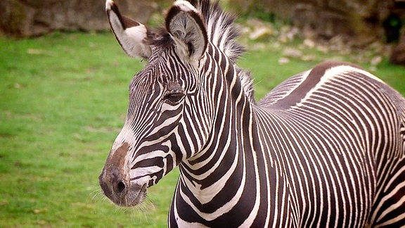 Ein Zebra steht auf einer Wiese