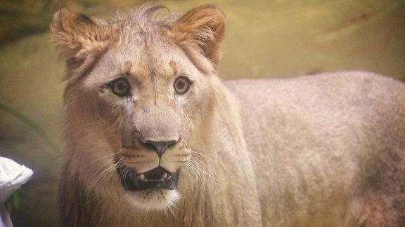 Ein Löwe schaut verdutzt