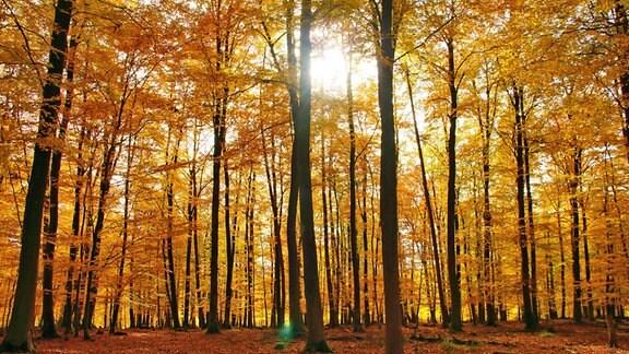 Gelber Herbstwald im Sonnenschein bei Enkirch an der Mosel