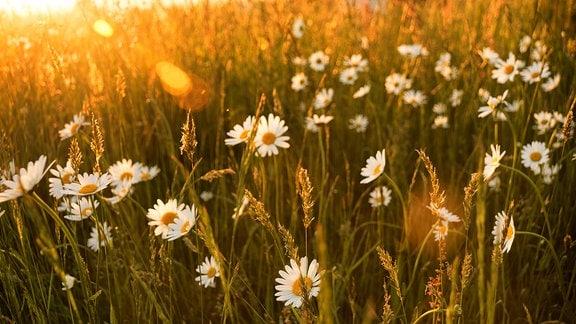 Margeritenwiese im abendlichen Sonnenschein
