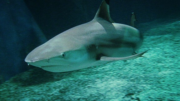 Ein Haifisch unterwasser