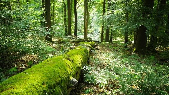 Ein umekippter Baumstamm ist mit viel Moos bewachsen und liegt mitten im grünen Wald