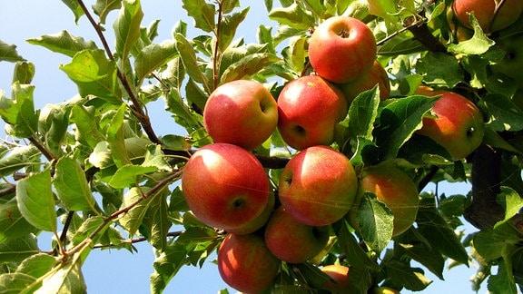 Eine Tonne Äpfel muss jeder Erntehelfer am Tag pflücken