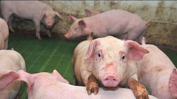 Ein Ferkel mit anderen Schweinen im Stall