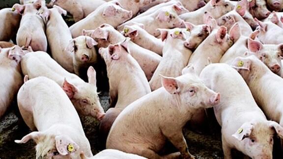 Schweine drängen sich auf engstem Raum in einer Mastanlage.