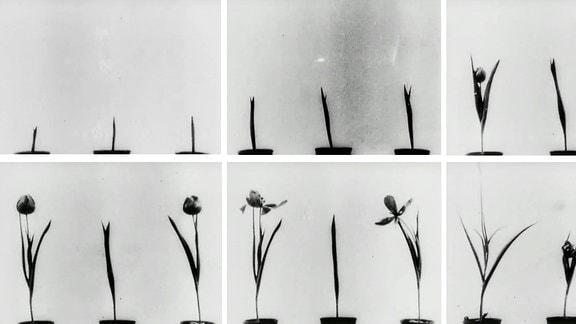 Wilhelm Friedrich Philipp Pfeffer, Kinematografische Studien an Impatiens, Vicia, Tulipa, Mimosa und Desmodium