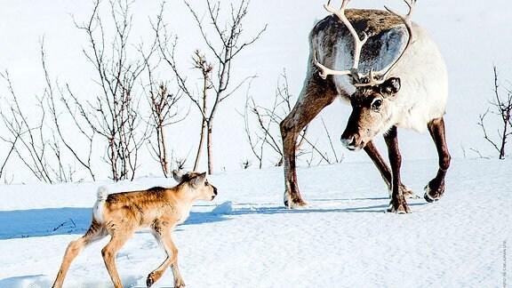 Ein Rentier wartet im Schnee azf sein Junges.