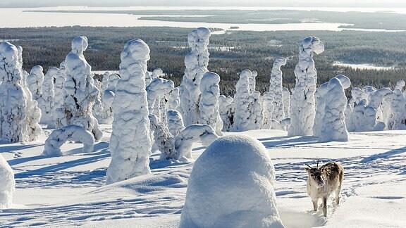 Ein Rentier steht zwischen vereisten Bäumen. Im Hintergrund liegt ein winterlicher See.