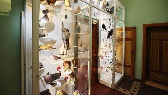 Präparierte Vögel sind in einer Ausstellung im Brehm Haus zu sehen